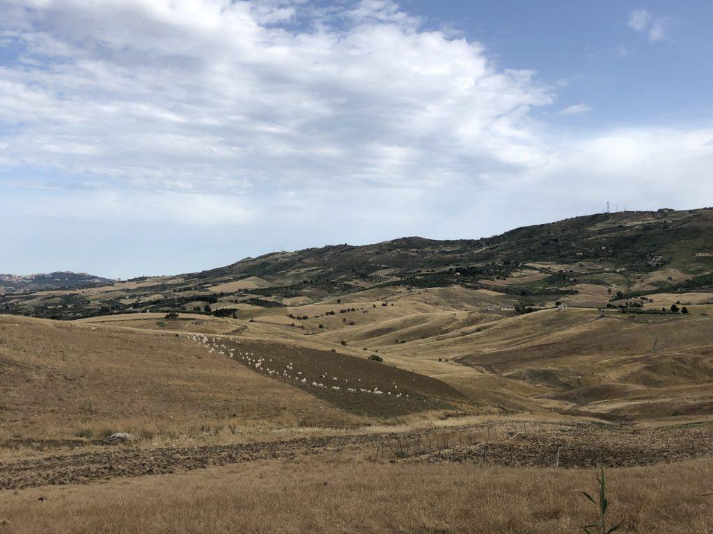Capre Girgentane al pascolo nella campagna siciliana