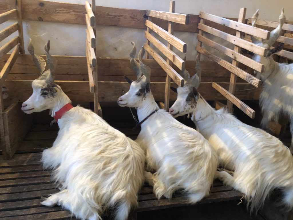 Tre capre girgentane accucciate per dormire